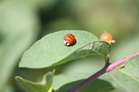 Wikimedia_Commons-Ladybird_On_A)Leaf